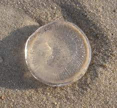 The moon jelly, a species of jellyfish, is round, translucent and gelatinous. That's why, when it washes ashore, it's easily mistaken for a silicone breast implant.